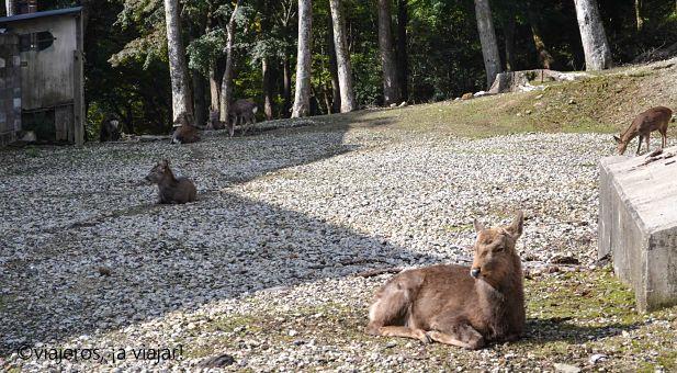 Ciervos sagrados en Nara